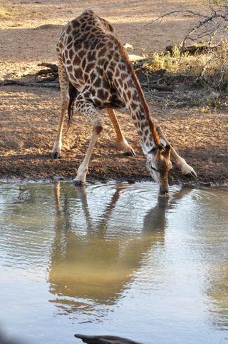 Giraffe drinking. 074