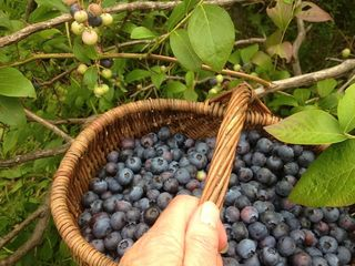 Garden berry basket