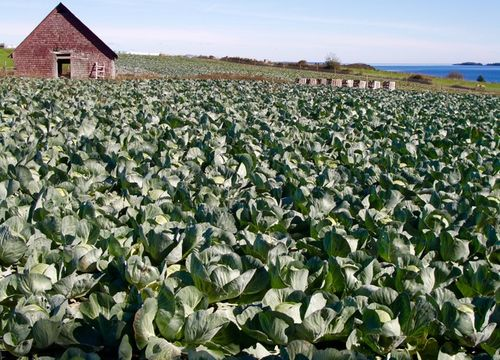 Cabbage field, Second Peninsula, Lunenburg County,, Noav Scotia