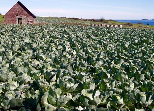 Cabbage field, Second Peninsula, Lunenburg County,, Noav Scotia