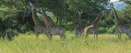Giraffe group... banner