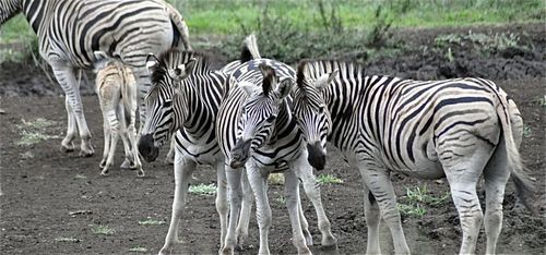 Tour - zebras